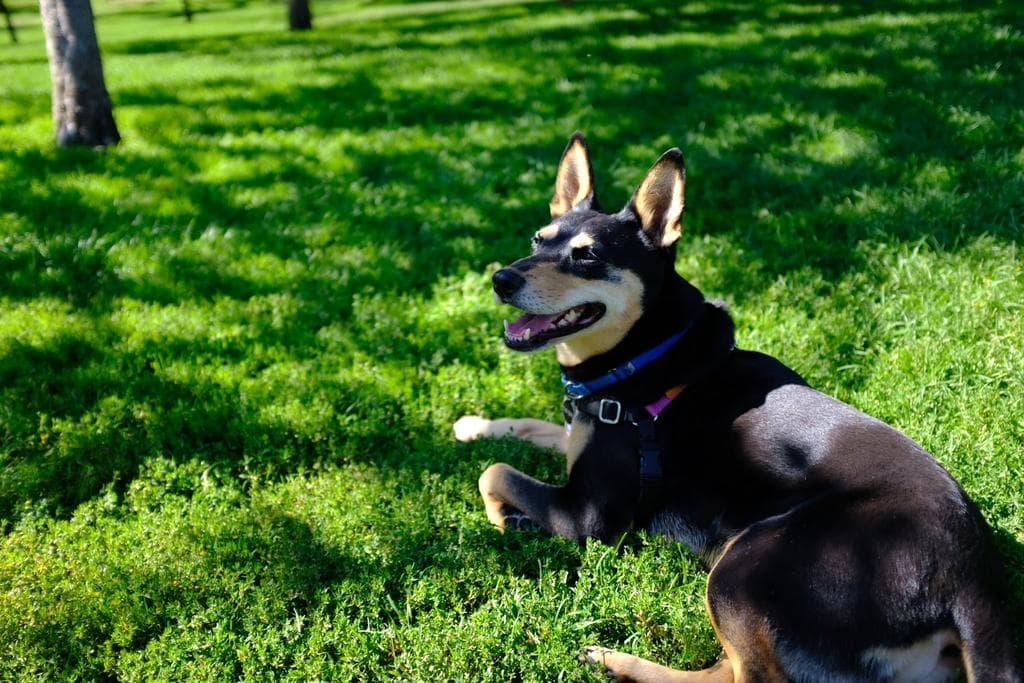 Happy dog laying on grass in Holinshead Park, Bend Oregon